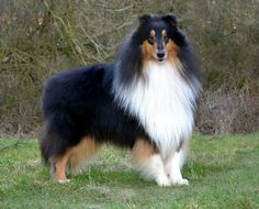 Tricolor Scotch american shepherd Collie dog