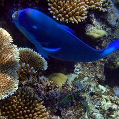 Great Barrier Reef #reef #snorkelling #fish #coral #australia #Queensland #GreatBarrierReef #coralreef #underthesea #ocean by jessleenasuri http://ift.tt/1UokkV2
