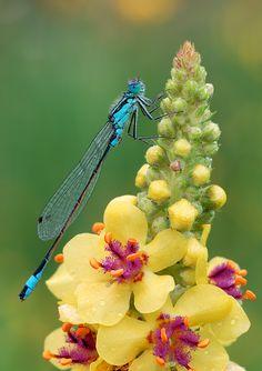 dragonfly on a Verbascum nigrum