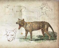 scientific_sketchbook__thylacine__part_2_of_4__by_vintagestyledheart-d6zk4wd.png (600×490)