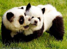   Chow Chow Panda Puppies at play.
