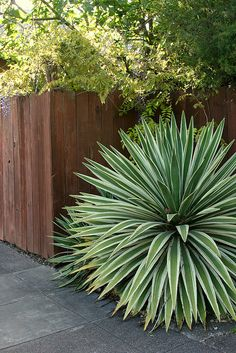 Agave angustifolia marginata - I think I want to plant some agave in the yard