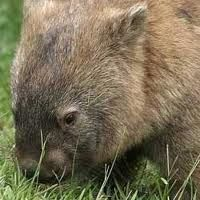 wombat stew activities - Google Search Wombat Stew, Nocturnal Animals, Australia, Activities, Google Search