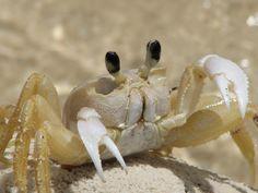 ... longtail tadpole shrimp triops longicaudatus triops 15 3 masumi