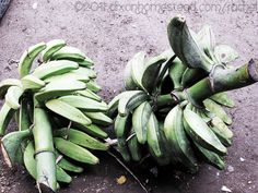 Bunches of plantains cut from trees. Guanacaste Province, Costa Rica.