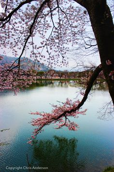 Cherry blossoms in Jinhae, South Korea Canaan Land, Chuncheon, Jeonju, My Father's World, Daejeon, Japan Travel, Japan Trip, Gwangju, Anime Scenery