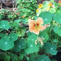 How special that I found some #peach #nasturtium in the #permaculturegarden today 😊