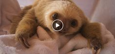 Have You Ever Heard Baby Sloths Talk To Each Other? (Yup… Baby Sloths Just Got EVEN CUTER!)