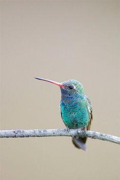 Broad-billed Hummingbird (Cyanthus latirostris)
