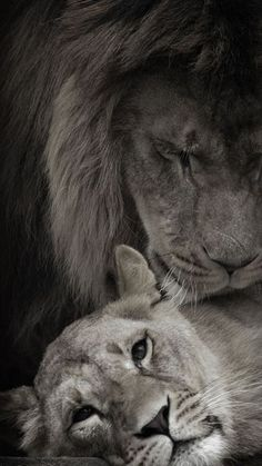 my King Lion And Lioness, Lion Of Judah, Couple Lion, Beautiful Cats, Animals Beautiful, Animals And Pets, Cute Animals, Lion Love, Amor Animal