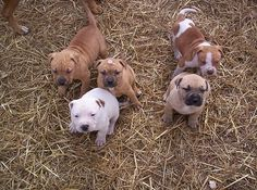 Uplifting So You Want A American Pit Bull Terrier Ideas. Fabulous So You Want A American Pit Bull Terrier Ideas. Baby Pitbulls, Pit Puppies, Dog Games, Puppy Face, Pitbull Terrier, Pitbull Pups, Mans Best Friend, Cute Dogs, Adorable Puppies