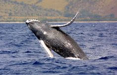 Burgeoning humpback whale population leads to call for easing protections - Hawaiian fisherman are calling on the U.S. government to remove some humpback whales, including those that summer in Alaska, from the endangered species list. Narragansett Bay, Save The Whales, Ocean Pollution, Noise Pollution, Big Animals, Pretty Animals, Strange Animals, Rare Animals, Adorable Animals