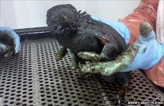 Oil-slicked Little Blue Penguin