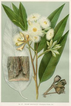 Eucalyptus robusta Swamp Mahogany artist: Edward Minchen from: 'The Flowering Plants and Ferns of New South Wales - Part by J H Maiden NSW Government Printing Office Australian Wildflowers, Australian Flowers, Australian Art, Vintage Botanical Prints, Botanical Drawings, Botanical Flowers, Botanical Art, Eucalyptus Robusta, Fauna