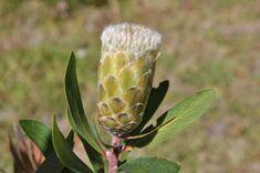 Protea mundii, flowerhead
