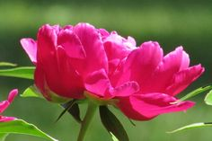 Budding and Blooming Photo Contest | Pink Peony
