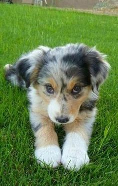Adorable Australian shepherd puppy #puppy #adorable
