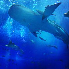 Whale shark in Chura-umi aquarium at Okinawa.
