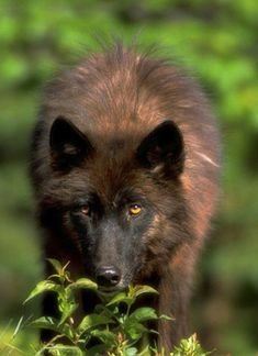 Black Wolf in green gras Beautiful Wolves, Animals Beautiful, Cute Animals, Wolf Photos, Wolf Pictures, Coyotes, Canis Lupus, Wolf Husky, Wolf Love