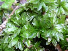 Rhodobryum roseum - růžoprutník růžovitý