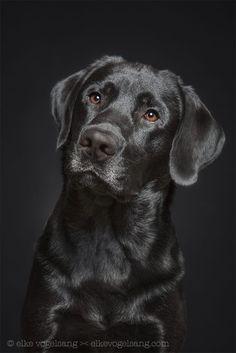 Beautiful black Labrador, photo by Elke Vogelsang