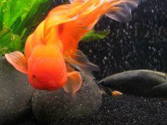 Oranda Goldfish~ Vann