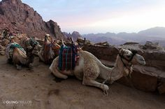 Camels at Mt. Sinai | Read full article: http://www.quingdom.com/2011/10/26/climbing-mt-sinai/
