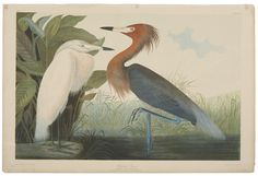 John James Audubon (1785-1851). Reddish Egret