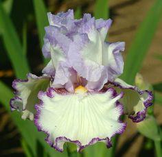 TB Iris germanica 'Petticoat Shuffle' (Schreiner, 2010) ..................... Courtesy of Schreiner's Iris Gardens