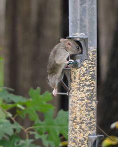 Mouse Raiding the Squirrel Feeder (explored)