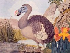 dodo (dronte de maurice) - aloys zölt