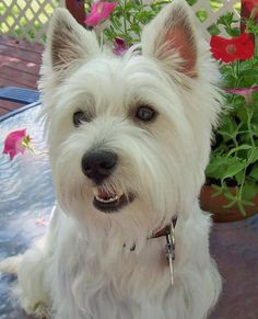 Charlie the West Highland Terrier