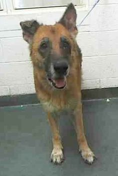 DORIS (A1622728) I am a spayed female black and tan German Shepherd Dog. The shelter staff think I am about 8 years old and I weigh 78 pounds. I was turned in by my owner and I may be available for adoption on 07/22/2015. — Miami Dade County Animal Services. https://www.facebook.com/urgentdogsofmiami/photos/pb.191859757515102.-2207520000.1437794760./1015923371775399/?type=3&theater