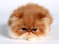 kitten-cute-fluffyfunny-cat-kitten-fluffy-cute-animal-joke-silly-pet-scary-comedy-tshirt-pkgbbppi