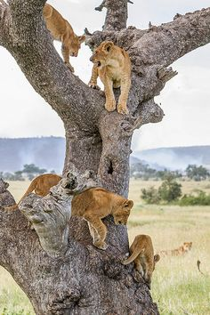 Serengeti - Tanzania, Don't climb a tree if a lion is chasing you!!!