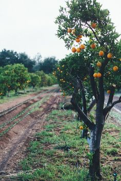 Take your family to an orange grove this summer. Then, make fresh juice with the fruit you pick!
