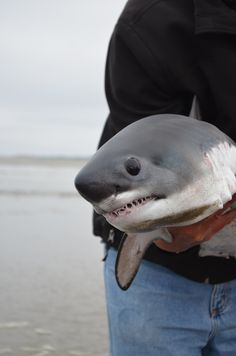 sharkhugger:  Cute baby was stranded and returned to the water :3But not before they got a nice picture snapped!Photo from white shark projects