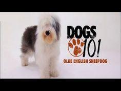 DOGS 101 - Olde English Sheepdog [ENG] - http://www.doggietalent.com/posts/dogs-101-olde-english-sheepdog-eng/