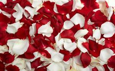 Red and White Rose Petals Wallpapers Pictures