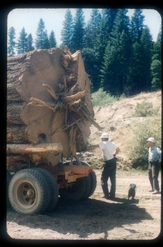 The butt end of that Yellow Pine. A log this big couldn't be handled by the saw mill without splitting it into smaller pieces. This could be done with black powder, dynamite, or cut with a chain saw with a long bar.Men-at-big-log Big Trees California, Giant Sequoia Trees, Timber Logs, Lumber Mill, Got Wood, Old Trees, Big Trucks, Ford Trucks, Monster Trucks
