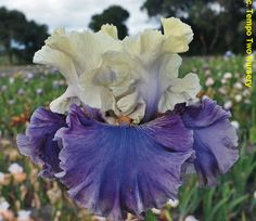 tall bearded iris 'loremaster'