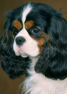 Tricolor Cavalier King Charles Spaniel Looks like my Parti Cocker Spaniel… Cocker Spaniel, Spaniel Puppies, Cute Puppies, Cute Dogs, Dogs And Puppies, Perro Shih Tzu, Cavalier King Charles Spaniel, King Charles Puppy, Pekinese