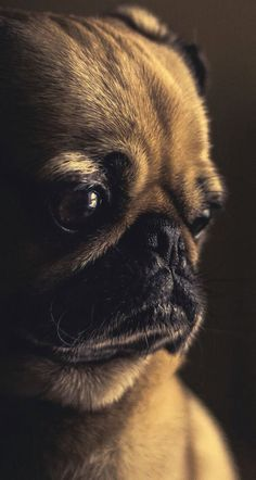 Dog Like Mammal, Pug, Eye, Close up Wallpaper for Android [Full HD], Animals Background and Image Dog Wallpaper Iphone, Tier Wallpaper, Animal Wallpaper, Wallpaper App, Screen Wallpaper, Iphone Wallpapers, Wallpaper Quotes, Dog Separation Anxiety, Dog Anxiety