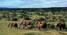 Quando il parco Greater Addo fu proclamato, nel 1931, tra queste vallate ricoperte da foresta sub-tropicale rimanevano soltanto 11 elefanti