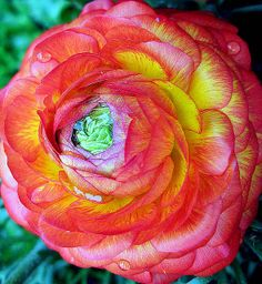 Ranucle by Tante Bluhme on Flickr