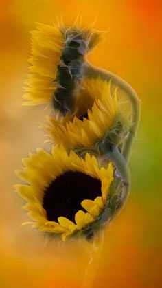 coffee and cigarettes Happy Flowers, All Flowers, Amazing Flowers, Beautiful Flowers, Sunflower Pictures, Sunflower Art, Sunflower Fields, Sunflower Photography, Art Photography