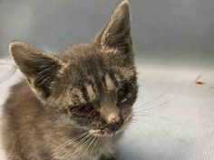 ELTON - A1090958 - - Brooklyn  *** TO BE DESTROYED 09/26/16 *** ELTON & GLENMORE ARE TWO LITTLE TABBIES WITH COLDS….They could use some TLC and of course, rescue…..Both are friendly and allowed all handling. And they say it is better to adopt two kittens at the same time so they have another kitten to play with. SO WHY NOT ELTON & GLENMORE?? They are publicly adoptable or you can apply to a New Hope rescue to foster…EITHER WAY IT'S A WIN FO