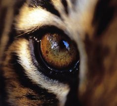 """eye of the tiger - """"But wild tigers are also in danger: Their population has dropped by more than 96 percent in the last 20 years.""""        Photo via Only Pen          From Treehugger"""