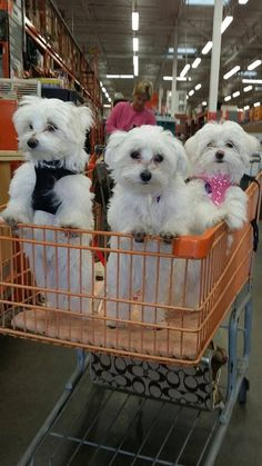 beautiful white dogs