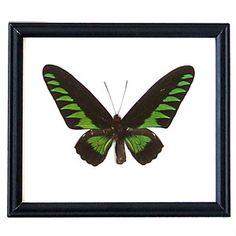 Schmetterling Brookiana, 25€, jetzt auf Fab.
